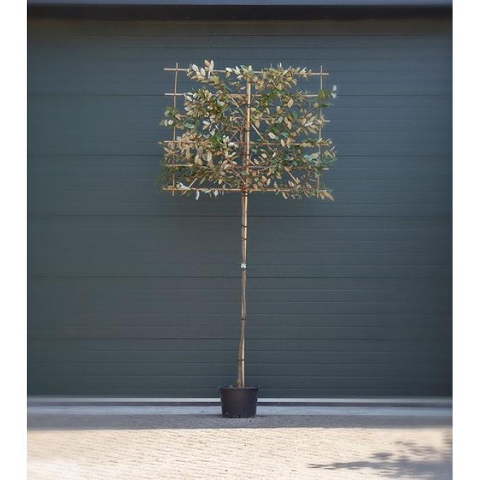 Ölweide Spalierbaum