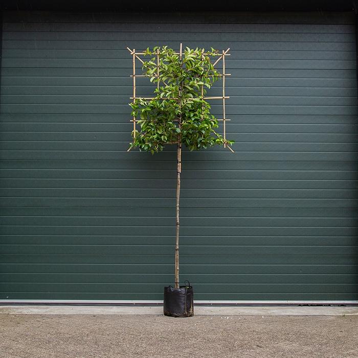 Portugiesischer Lorbeer Tico als Spalierbaum