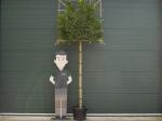 Portugiesischer Lorbeer als Spalierbaum