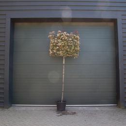 Glanzmispel als Spalierbaum ausgewachsen