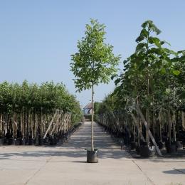 Echter Walnussbaum