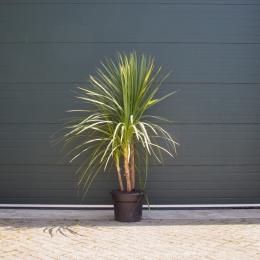 Grüne Kohlpalme mehrstämmig