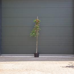 Persischer Schlafbaum