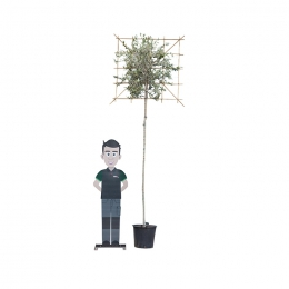 Olivenbaum als Spalier 220 cm stammhöhe