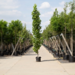 Säulen-Amberbaum