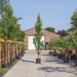 Säulen-Tulpenbaum