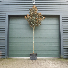 Magnolie grandiflora