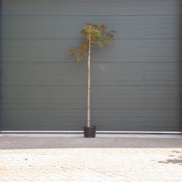 Roter Persischer Schlafbaum