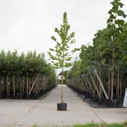 Baum-Hasel