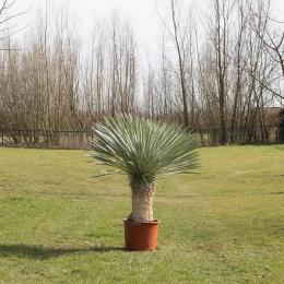 Palmlilie Yucca