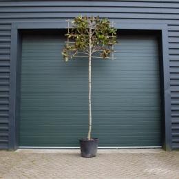 Magnolie grandiflora als Spalier