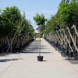 Amberbaum kugelförmig