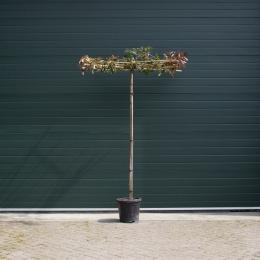 Glanzmispel als Dachbaum
