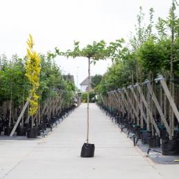 Dach-Maulbeerenbäume