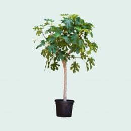 Feigenbäume