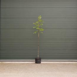 Walnussbaum Lange van Lod