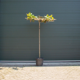 Magnolie grandiflora quadratisches Dach