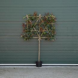 Glanzmispel als Spalierbaum