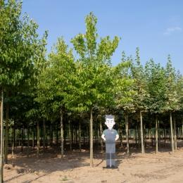 Baum-Hasel ausgewachsen